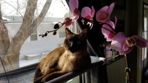 Siamese cat in front of window with snowy outdoors and orchid over her head